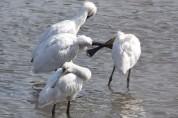 가사리 '노랑부리저어새' - 자연에서 살아가는 이치를 배우다